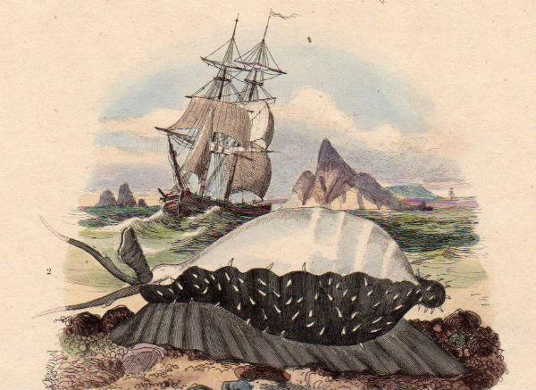 19世紀フランス 博物画「ヤマアラシ 他」銅版手彩_画像3