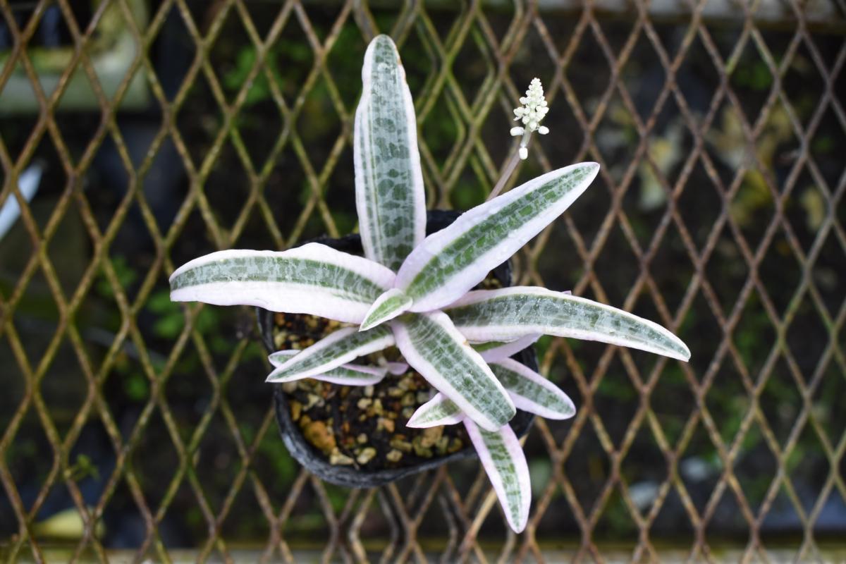 171133☆AO☆ヒョウモンニシキ レデボウリア・ソキアリスのきれいな斑入り Ledeboulia socialis 'Variegata'_画像2